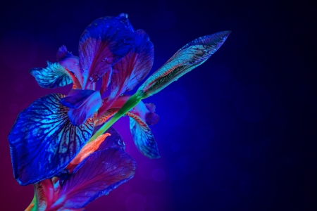 Glowing iris flower on dark background photo