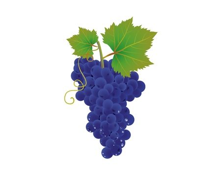 A bunch of blue grapes with drops. Illustration