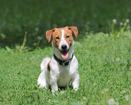 Young puppy dog Jack Russell terrier sitting in grass