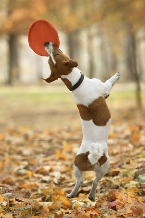 jack russel: Funny Jack Russel terrier catching frisbee in jump