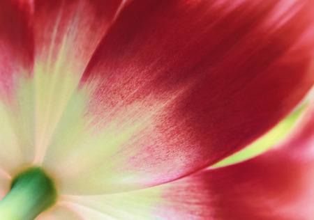 Rode tulp close-up, abstracte voorjaar achtergrond