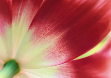 Red tulip close up, abstract spring background Banque d'images