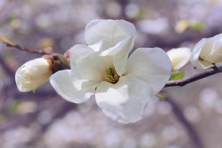 Branch of white magnolia flowers, pastel tones Stock Photo