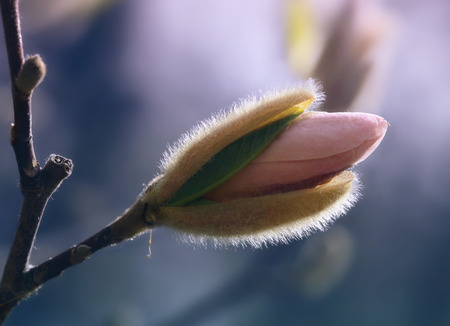 Magnolia flower bud, pastel tones Stock Photo