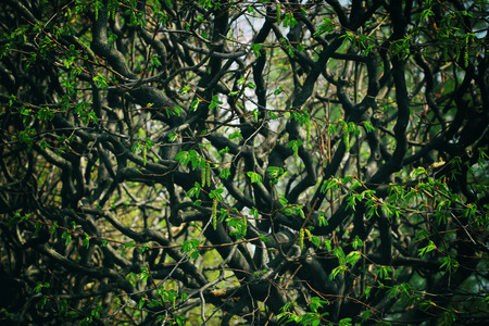 Impenetrable forest, branches with young leaves early spring. Stylized picture for the background.