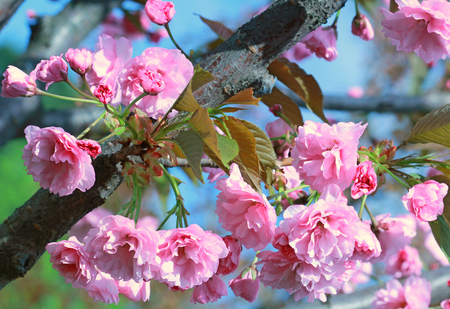 Branch of Japanese cherry blossoms. Spring sunny day Stock Photo