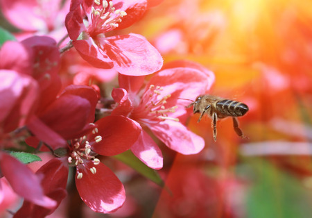Bee collects pollen from cherry flowers with sunlight rays