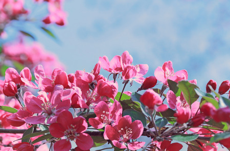 Branch of cherry blossoms. Spring sunny day Stock Photo