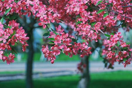 Blooming trees with pink flowers in spring park