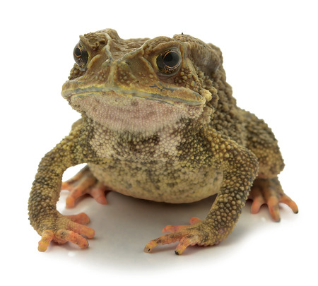 Toad isolated on a white background photo