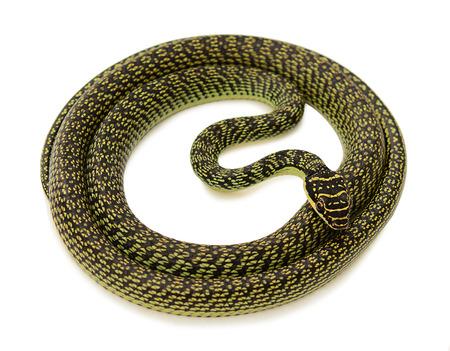 green snake on white  photo