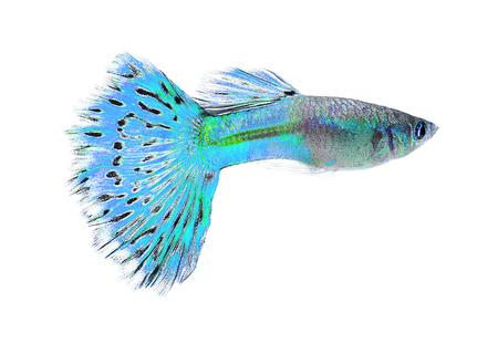 guppy fish: guppy fish isolate on white background