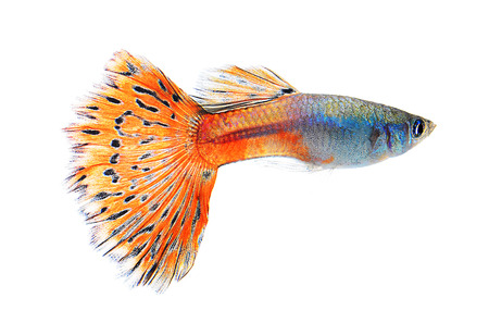 guppy: guppy fish isolate on white background