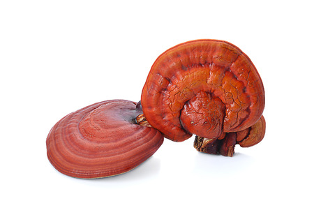 Lingzhi Mushroom Ganoderma Lucidum Isolated on white background