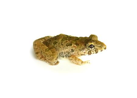 lessonae: Frog isolated white background