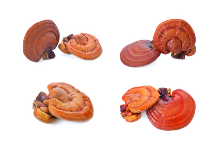Lingzhi Mushroom (Ganoderma Lucidum) Isolated on white background Imagens