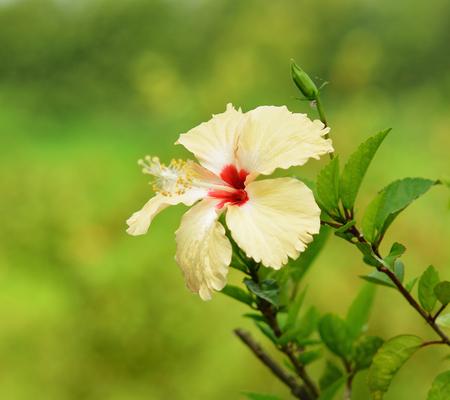 carpel: Shoe Flower carpel Hibiscus syriacus