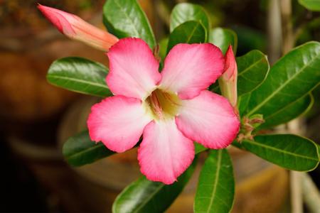 Impala Lily or desert rose Photography Stock Photo