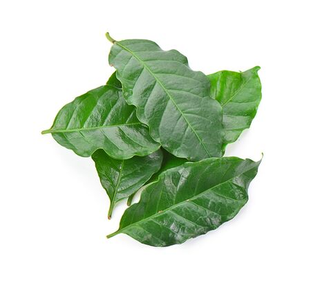 Coffee leaf isolated on a white background, photography