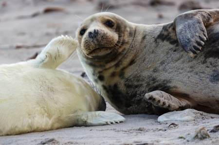 Cute picture of a gray seal family on the island Helgoland in Germany