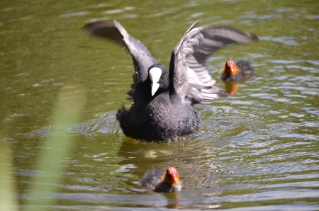 Coot family in Planten un Blomen, Hamburg, Germany Stock Photo