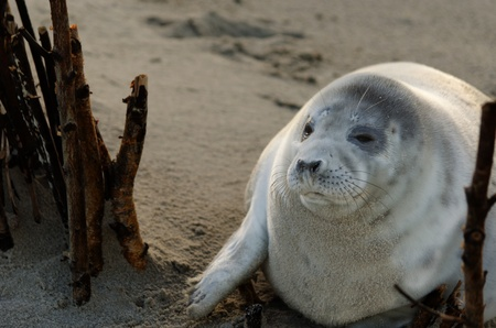 A well fed young gray seal at the beach of the island Helgoland in Germany.