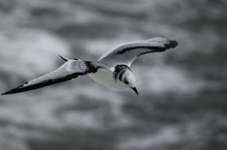 Young Black-legged Kittiwake in its first winter flying over the north sea, seen from above