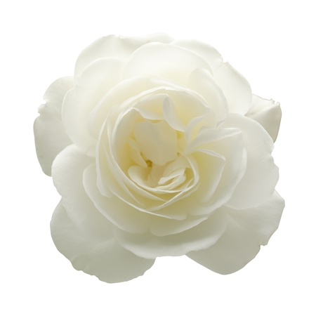A white rose isolated on a white background  Stock Photo