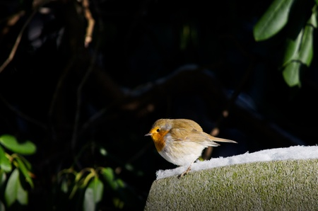 A european robin sitting on the edge of a stone in winter  Hamburg, Germany   Stock Photo