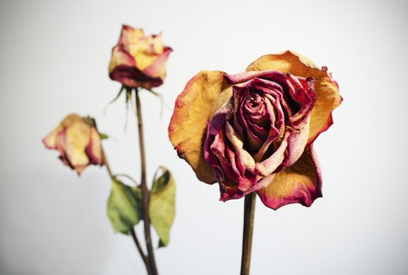 Three withered roses on a white background with vignetting