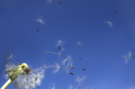 Dandelion Seeds or the blowball  Focus is set on the flying seeds in the middle of the picture