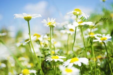 Field of Leucanthemum under a blue sky. Warm summer day. Shallow depth of field. Focus on selected flowers. Soft focus.