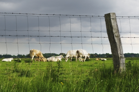A group of cattle on the meadow behind a fence.