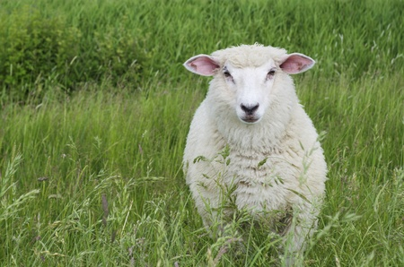 A cute sheep on a green meadow looking directly into the camera.