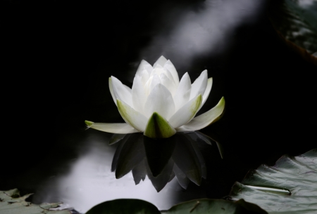 black and white photography: The flower of a Nymphaea alba, also known as the European White Waterlily, White Lotus, or Nenuphar on a dark water surface.