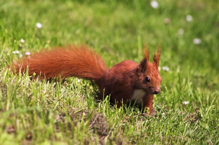 A red squirrel on a meadow with daisies.