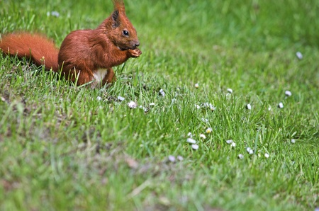 A red squirrel sitting on a green meadow with daisies. Shallow depth of field. Much free copy space. Stock Photo