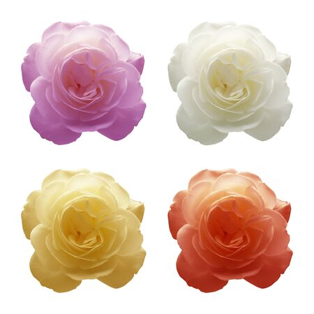 Four roses in four different colors  Composition of four images  Stock Photo