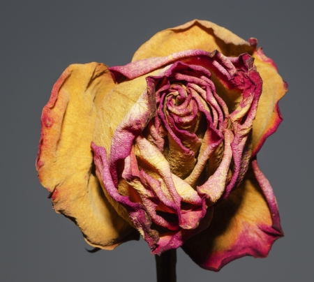 A whithered rose on a gray background