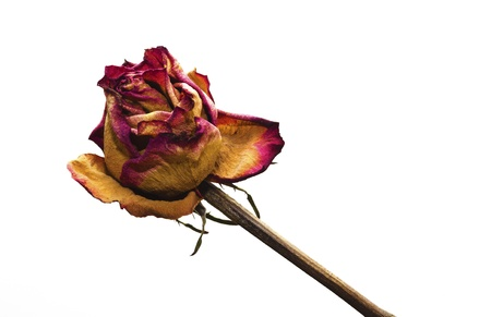 A whithered rose isolated on white background