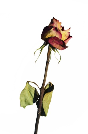 Withered rose on a white background