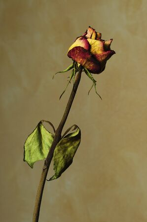 A Withered rose on a yellow textured background