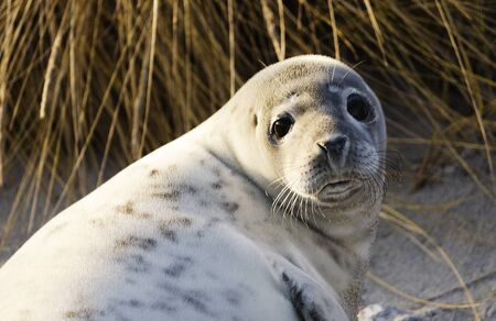 german north sea region: A young gray seal on the beach of Helgoland, Germany