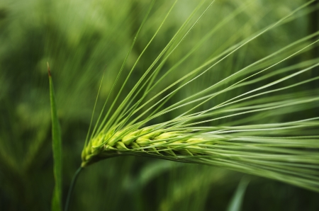The seed head of young green barley  Shallow depth of field