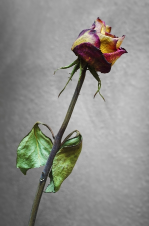 Withered rose on a gray background