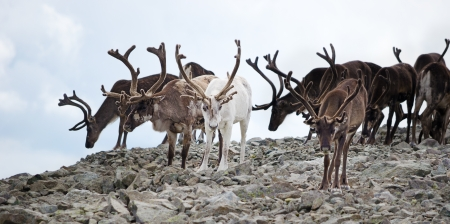 A herd of reindeer in Jotunheimen national park, Norway