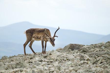 A reindeer in Jotunheimen national park, Norway