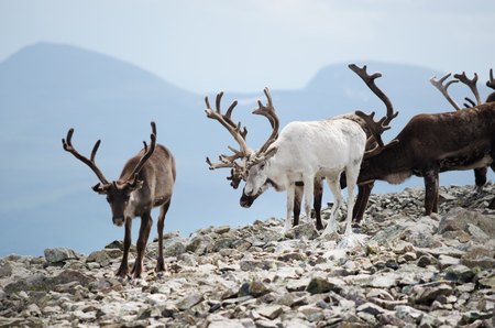 A herd of reindeer in Jotunheimen national park, Norway
