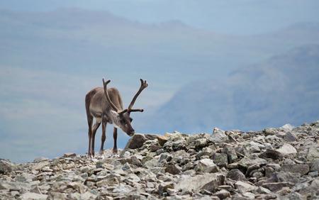 jotunheimen national park: A reindeer in Jotunheimen national park, Norway