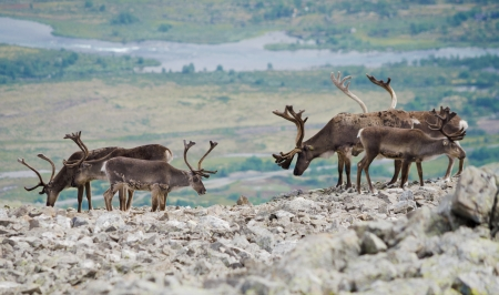 jotunheimen national park: A herd of reindeer in Jotunheimen national park, Norway